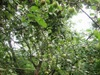 Apple_tree2