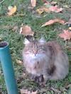 Grey_cat1