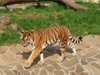 Amur_tiger1
