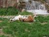 Amur_tiger3