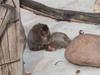 Japanese_monkey_1