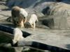 Polar_bear2